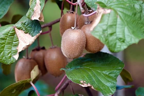 Zralé plody kiwi - aktinidie čínské.