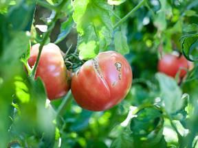 Popraskaná rajčata co nejdříve otrhejte a zpracujte.