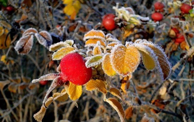 Růže svraskalá (Rosa rugosa) patří k velmi odolným dřevinám.