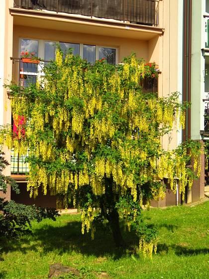 Štědřence se pěstují jako keře či menší stromy.
