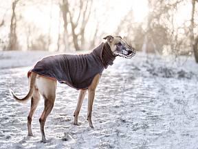 Vipet patří k plemenům, které je vhodné v zimě trochu obléct.