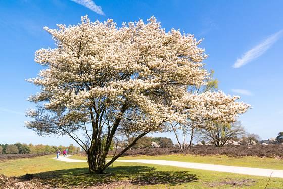 Muchovníky mohou dosáhnout velikosti vzrostlého stromu, dáme-li jim prostor. Muchovník Lamarckův