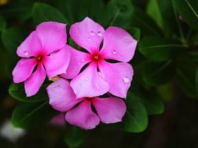 Barvínkovec růžový čili katarantus (Catharanthus roseus) je podobný našemu domácímu barvínku menšímu.