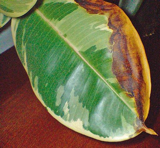 Hnědnutí listů trápí pěstitele pokojových rostlin