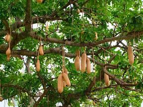 Plody salámovníku dorůstají váhy až 12 kg.