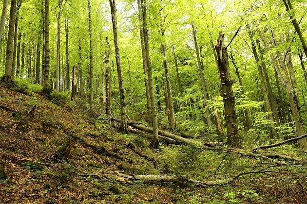 Datel černý potřebuje lesní porosty se staršími stromy, ve kterých může tesat dutiny, a s mrtvým dřevem, napadeným houbami a dřevokazným hmyzem, který je jeho potravou.