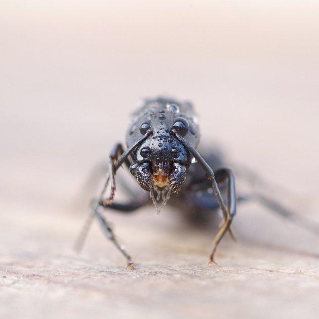 Různé druhy mravenců mají různě dlouhý život - to je dobré vědět, když chystáte desinsekci.
