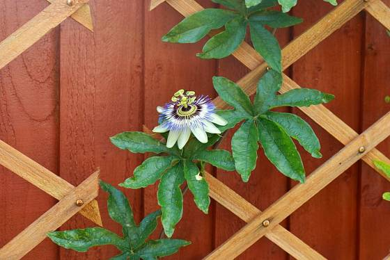 Mučenka modrá (Passiflora caerulea) se ochotně pne po treláži