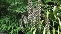 paznehtník měkký (Acanthus mollis)