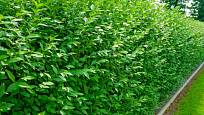 Ptačí zob je ideální pro volně rostoucí i stříhané živé ploty. Jen pozor na děti, neměly by ochutnávat jeho plody