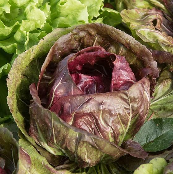 Salátová čekanka je lehce nahořklá, křupavá, zdravá a chutná zelenina
