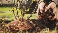 Na jaře můžeme zahradní borůvky vysazovat