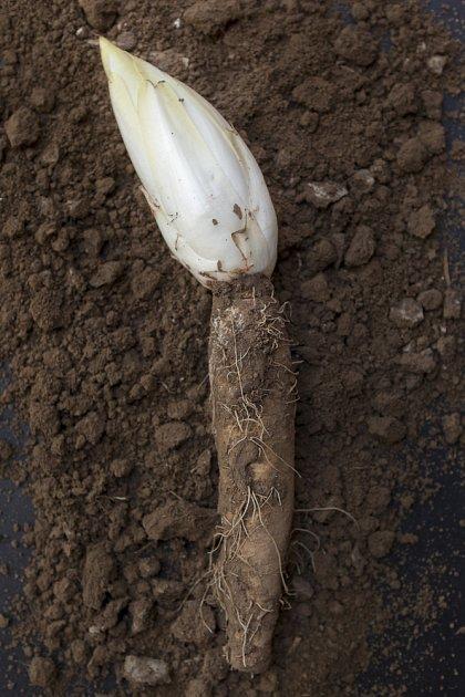 kořen čekanky a rostoucí puk listů