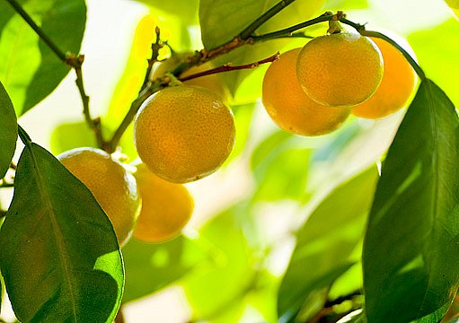 citroník