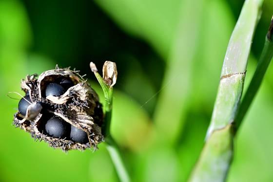 Kana (dosna) - dozrávající semena.