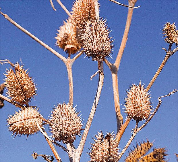 Plevel, nebo okrasa? Velké ježaté tobolky plné semen uzrávají na jednoletém durmanu obecném.