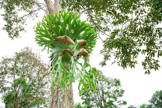Parožnatky rostou jako epifyty na stromech