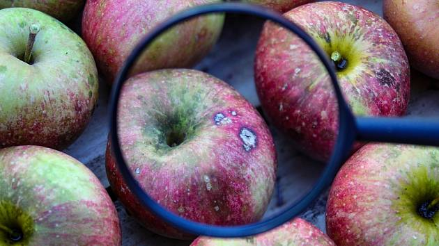 Hořká pihovitost jablek