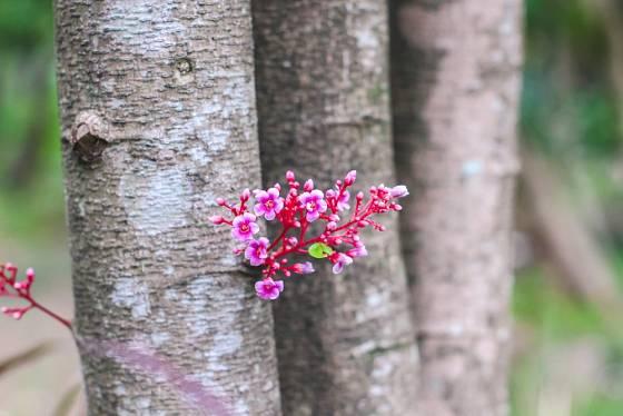 Karambola kvete bohatě i na větvích a kmeni.