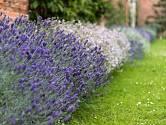 Bíle kvetoucí odrůdy jsou zajímavým osvěžením levandulového záhonu