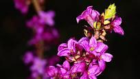 Květy lýkovce jedovtého