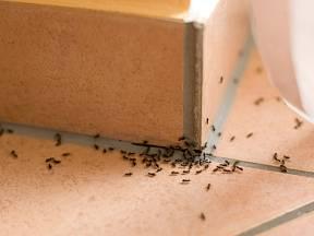 Mravenci žijí vždy ve velkých společenstvích.