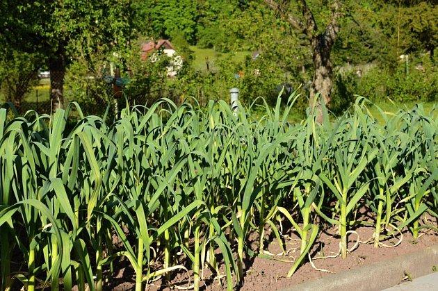 Na dobře zpracovaných půdách se česneku daří.