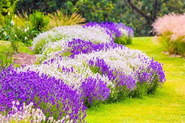 Na slunečné a sušší zahradě zkuste z aromatické levandule vytvořit květinový potok.