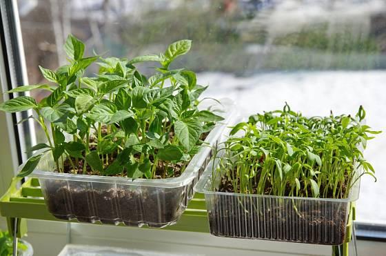 Semenáčky paprik a rajčat na okenním parapetu.