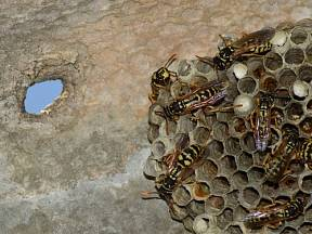 Je důležité vědět, že hnízda mají vždy dvě přístupové cesty, které je potřeba likvidovat společně, abyste předešli nejen protiútoku vos, ale i jejich přemístění jinam.
