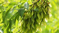 Javor jasanolistý (Acer negundo)