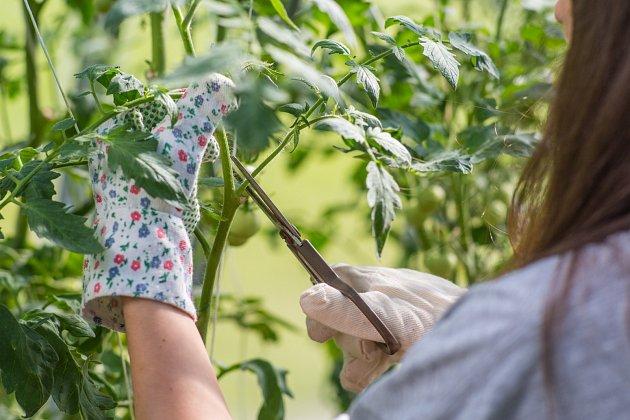 Jakmile rajčatům naroste 5 až 7 pater květů, rostlinu zastřihněte.