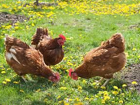 Dobrá vejce od slepic, které netrpí celý život v klecích, jdou na odbyt