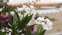 Oleandr (na snímku), marhaník, blahovičník, olivovník nebo smokvoň jsou další vhodné typy rostlin pro pěstování na terase.