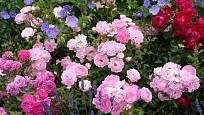 Kombinace miniaturních růží tón v tónu – Roxy, Flirt 2011 a Milano; pokvetou po celé léto