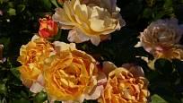 Růže odrůdy Sonnenwelt