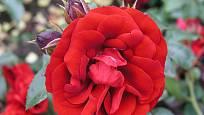Amadeus (Kordes, Německo, 2003). Výrazná a neblednoucí červená barva, květ asi 8 cm velký; výška růže 3 m. Opakovaně kvetoucí
