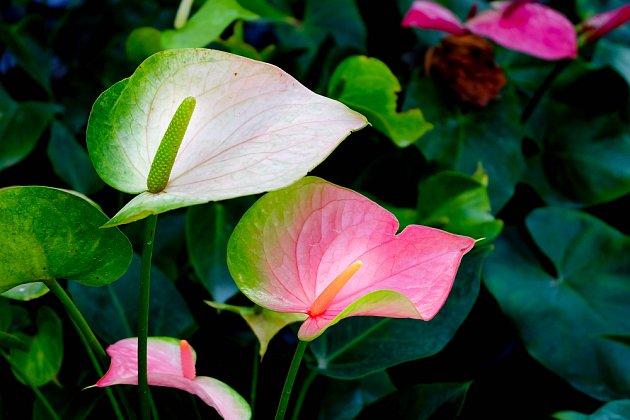 Kříženci Anthurium andreanum mají různě zbarvené listeny
