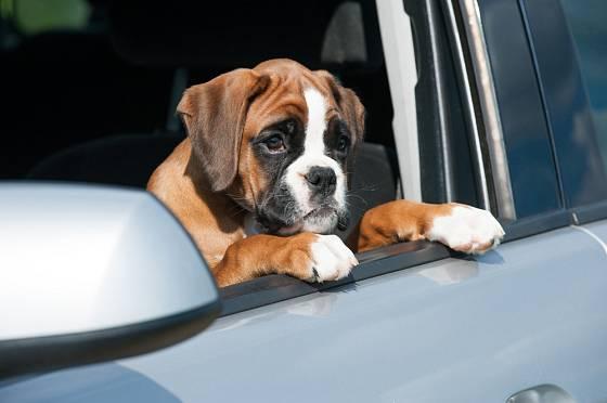 Cestování autem je součástí socializace psa.