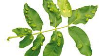 listy napadené vlnovníkem (Aceria tristriatus)