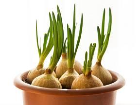 Cibulovou nať si můžete snadno vypěstovat i doma.
