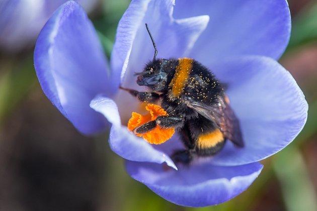 Krokusy potěší nejen nás - pro včely a čmeláky jsou první obživou po probuzení