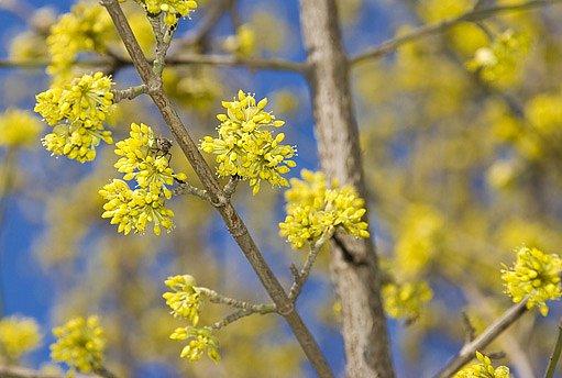 kvetoucí dřín