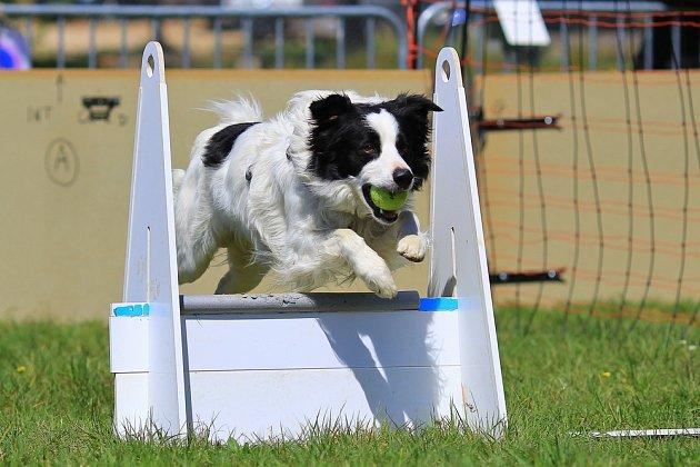 Flyball: s míčkem se pes vrátí přes překážky k psovodovi.