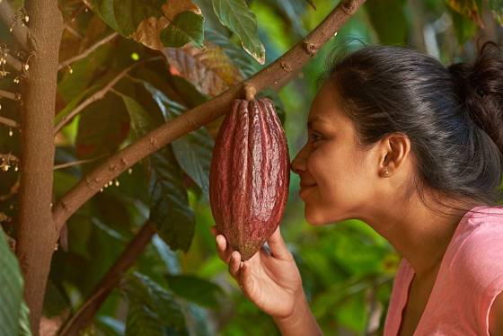 Kakaové boby, tedy semena, jsou mnohem menší než celé sklízené plody