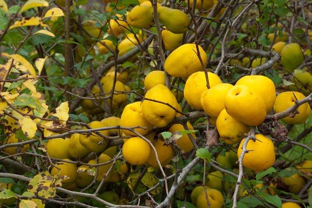 Žluté plody kdoulovce japonského.
