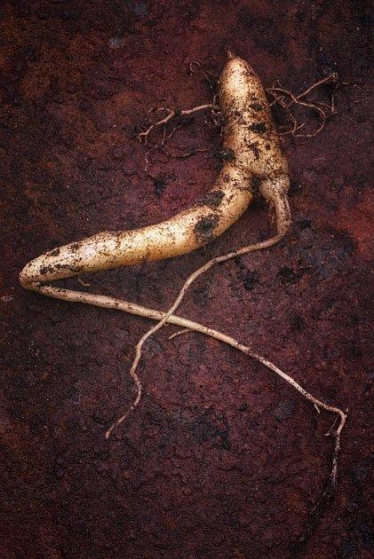 Kořen mandragory je opředen mnoha bájemi a tajemstvími.
