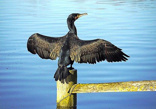 kormorán velký si suší křídla po lovu