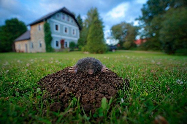 Krtek dokáže notně poškodit trávník.