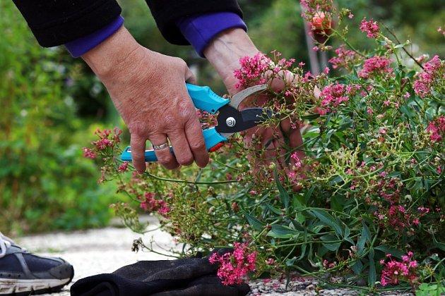 Odstřižením odkvetlých květenství podpoříme mavuň v dalším kvetení.